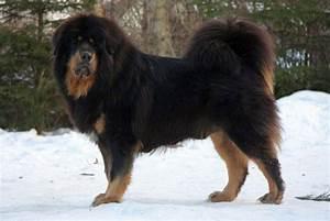 Tibetan Mastiff | The Life of Animals