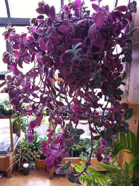 purple hanging plant purple wandering jew indoor house plants pinterest wandering jew coaching and house