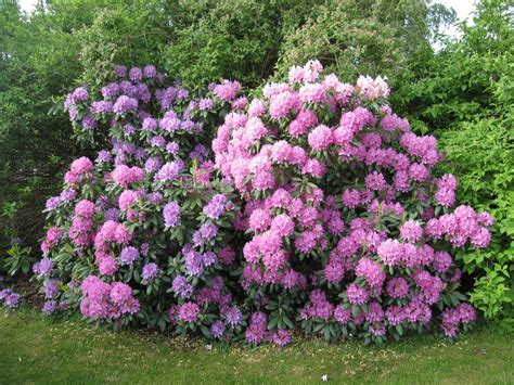 pictures of rhododendron common problems of rhododendron learn about rhododendron pests and disease