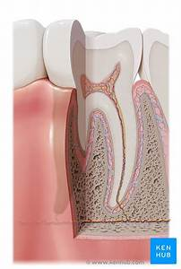 Tooth Anatomy  Names  Types  Structure  Arteries  Nerves