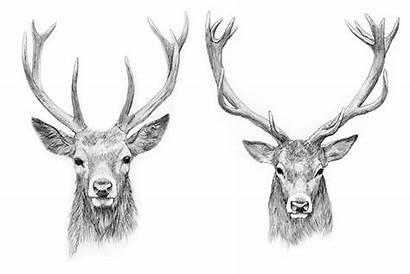 Head Drawing Tattoo Reindeer Deer Stag Drawings