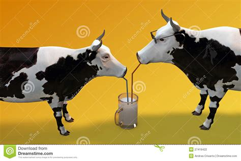 cows drinking milk stock photography image