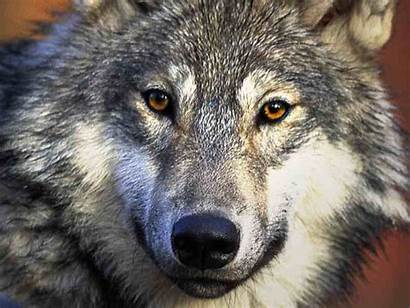 Wolf Den Wolves Facts 1024 Wolfs Gray