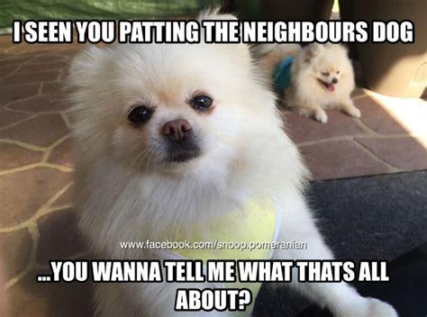 Pomeranian Meme - 62 best pomeranian memes images on pinterest pomeranian memes cubs and puppies