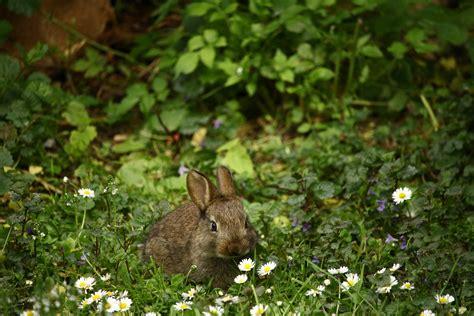 white black  brown rabbit  brown wooden fence