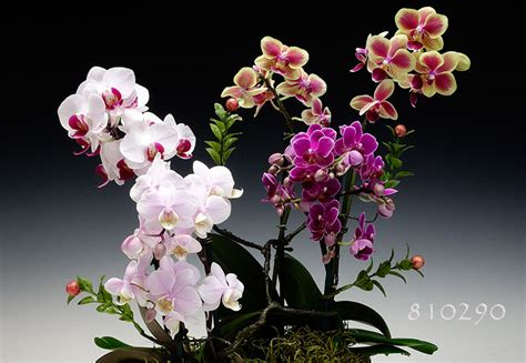 meaning  symbolism   word orchid