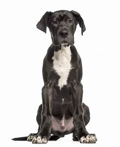 Great Dane | Dogs | Breed Information | Omlet