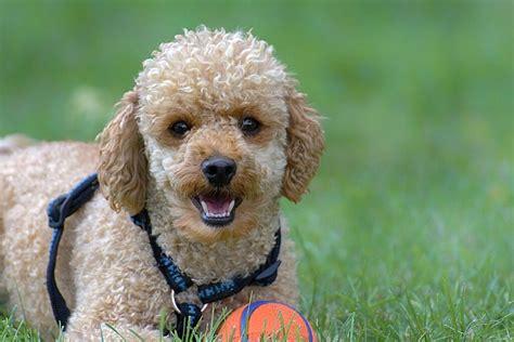 Best Poodle Names 42 Cute Ideas With Video Petshoper