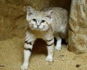 sand cats for 9 things you didn t about the sand cat mnn