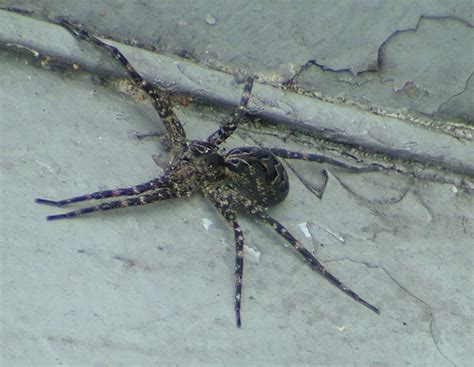 Boat Dock Spiders by Gallery Wildlife