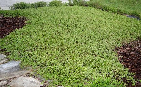 How To Mass Plant Groundcovers With Perennial Shrubs