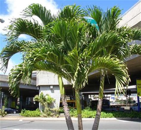 palm trees for sale cape coral - Christmas Palm Tree For Sale
