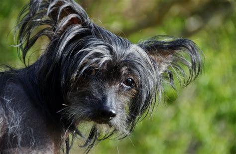 ugly dog breeds      pictures