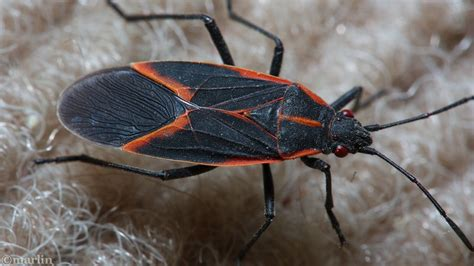 Bugs In by Box Elder Bug American Insects Spiders