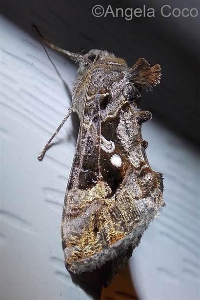 Chrysodeixis Looper Moth Soybean Caterpillar 1858 Walker