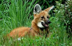 Red Fox on Stilts? No, Just a Maned Wolf!   Featured Creature