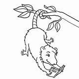 Possum Coloring Opossum Template Printable Getcolorings sketch template