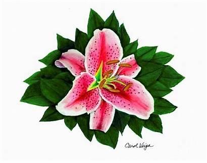 Lily Stargazer Drawing Drawings Lilies Veiga Carol
