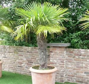 Trachycarpus Fortunei Auspflanzen : pflanzenportraits ~ Eleganceandgraceweddings.com Haus und Dekorationen