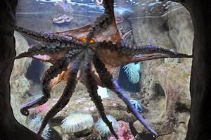Octopus, Home, Aquarium