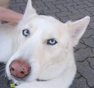 white german shepherd husky mix | Kingdom Animalia ...