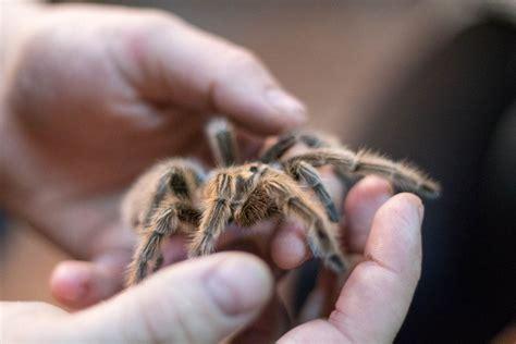 pet tarantula keeping and caring for tarantulas as pets