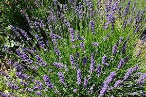 Lavendel Wann Schneiden : wann schneidet man lavendel lavendel schneiden wann ist ~ Lizthompson.info Haus und Dekorationen