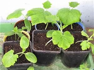 Gurken Pflanzen Anleitung : pin gurken pflanzen on pinterest ~ Whattoseeinmadrid.com Haus und Dekorationen