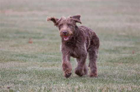 List Non Shedding Hypoallergenic Dogs Pictures by 22 Hypoallergenic Breeds Reference