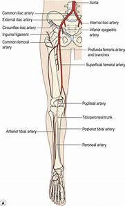 Best 25 ideas about lower extremity arteries find what youll love peripheral lower extremity anatomy sciox Image collections