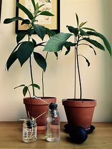 Avocado Baum Pflege : avocado z chten und sich ber eine gesunde pflanze freuen ~ Orissabook.com Haus und Dekorationen