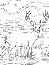 Deer Coloring Animal Template Templates sketch template