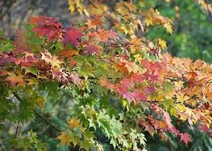 Ahorn Krankheiten Bilder : acer palmatum japanischer ahorn herbst ~ Frokenaadalensverden.com Haus und Dekorationen