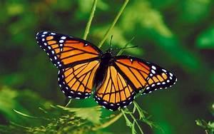 Wallpaper Schmetterlinge
