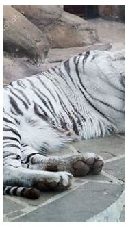Closeup of sleeping white tiger on rock — Stock Photo ...