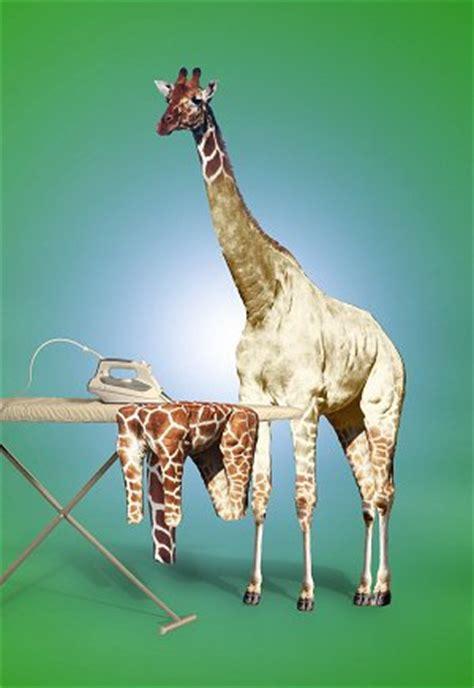 blank  naked giraffe
