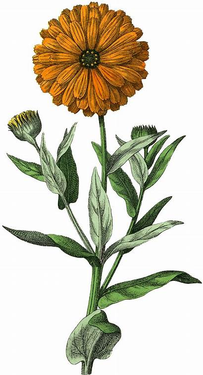 Botanical Marigold Graphics Flower Flowers Drawing Illustration