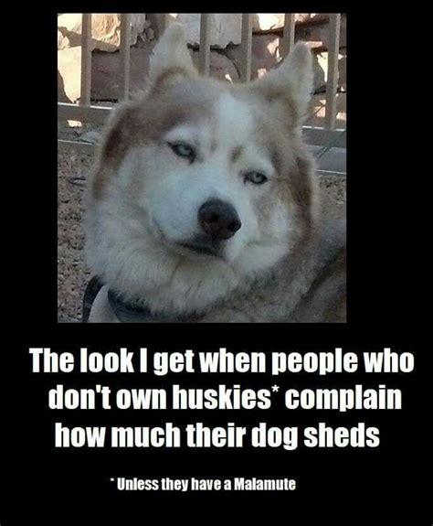 Funny Husky Memes - best 25 siberian husky funny ideas on pinterest funny husky husky humor and dogs funny husky