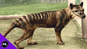 Tasmanian Tiger Back From The Dead!? 5 Weird Animal Facts ...