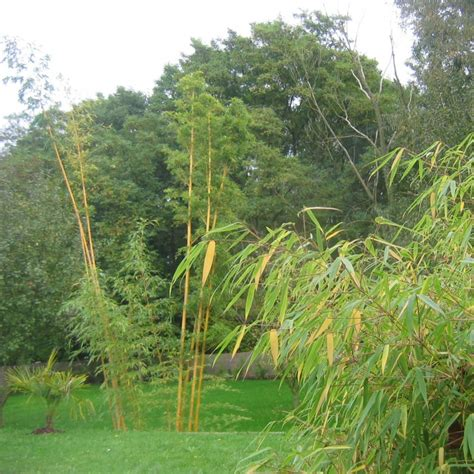 lot de bambous farg 233 sia pour haie d 233 corative