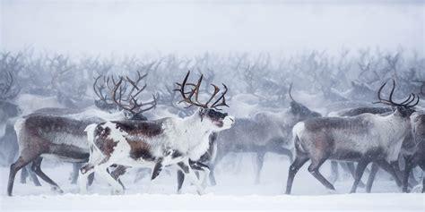mackenzie delta reindeer herd nicolas dory photography