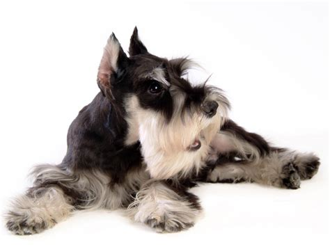 no shedding breed small breeds that do not shed breeds picture