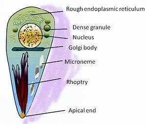 Parasitophilia  Toxoplasma Gondii
