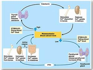 Sugar Homeostasis Diagram