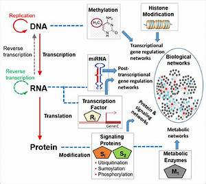 Central Dogma And Main Regulating Elements For Biological Networks At
