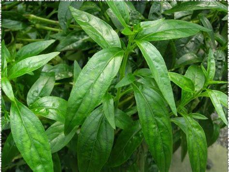 daun sambiloto  kesehatan obat herbal