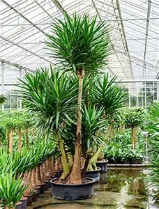 Hydrokultur Pflanzen Kaufen : hydrokultur pflanzen im kulturtopf ab rd 42 cm hydrokulturen kaufen ~ Buech-reservation.com Haus und Dekorationen