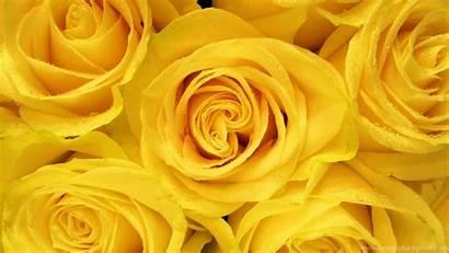 Roses Yellow Wallpapers Background Desktop