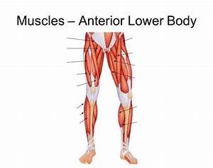 Anterior View Of The Lower Body Muscles
