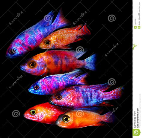 aquarium poisson d or poissons d aquarium d afrique photo stock image 51493081